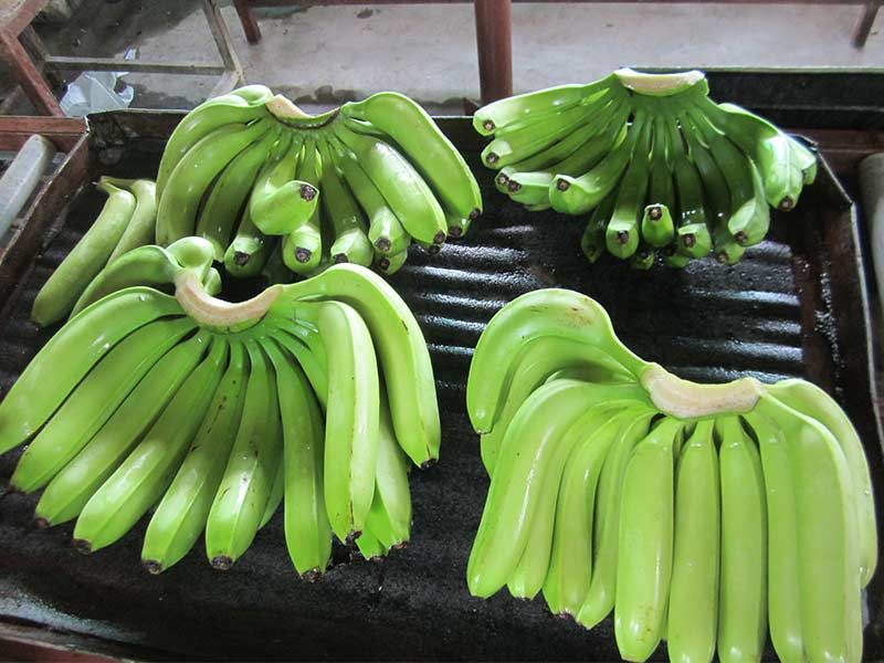 Green Cavendish Bananas Indian fa
