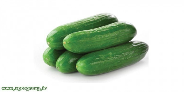 Cucumber Export - AGRO Products