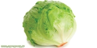 Lettuce Export - AGRO Products
