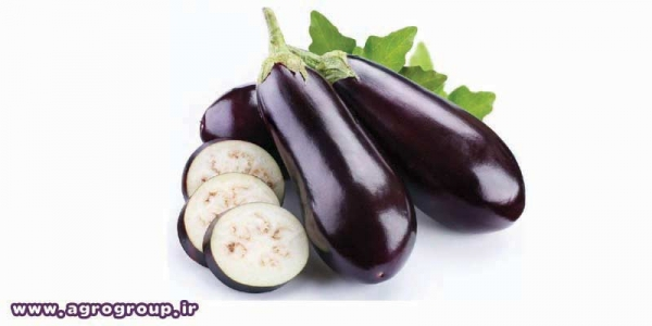 Eggplant Export - AGRO Products
