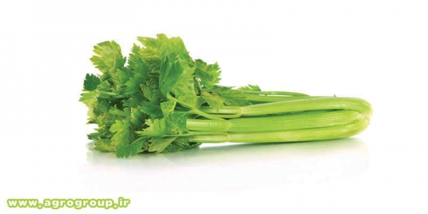 Celery Export - AGRO Products